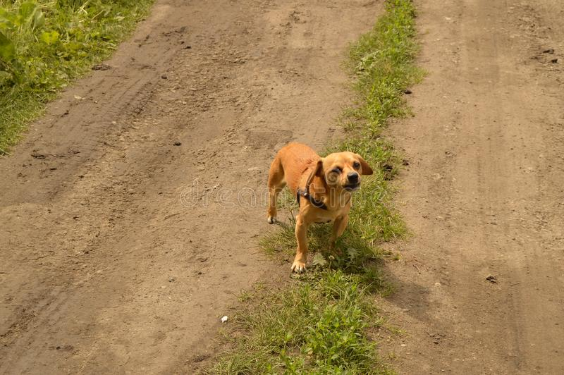 A small red dog stands on the road and looks aggressively.  royalty free stock images