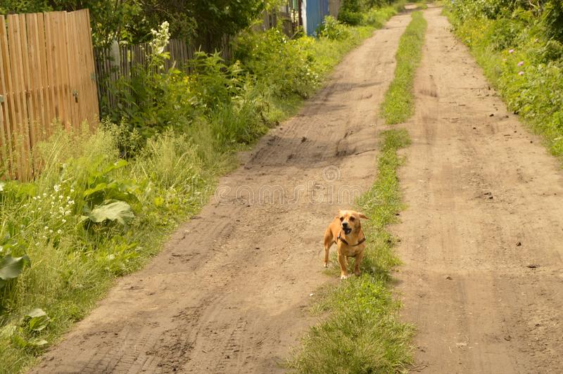 A small red dog stands on the road and looks aggressively.  royalty free stock image