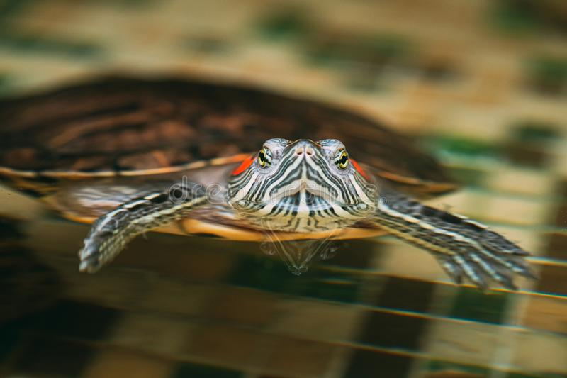 Small Red-ear Turtles Swiming In Pond royalty free stock photography