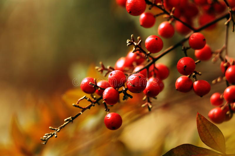 Red wild fruits stock photo