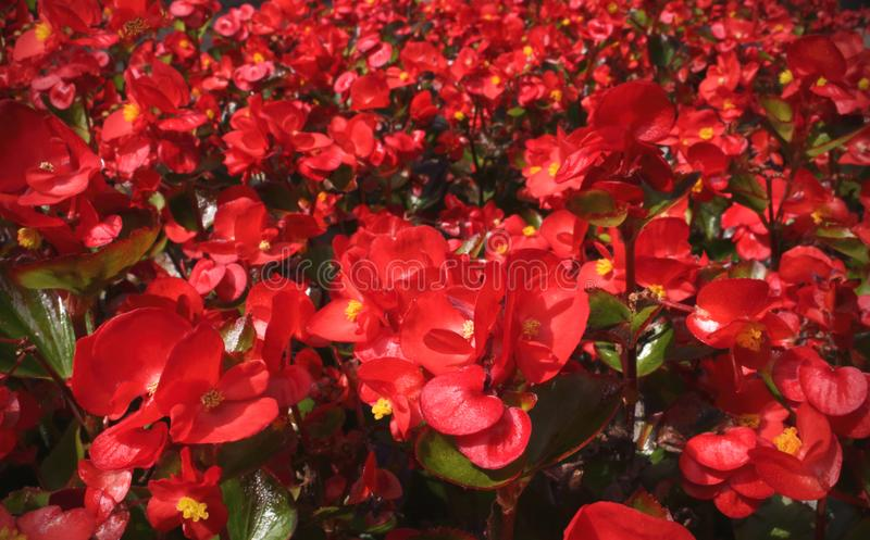 Small red garden flowers on sunny day royalty free stock images