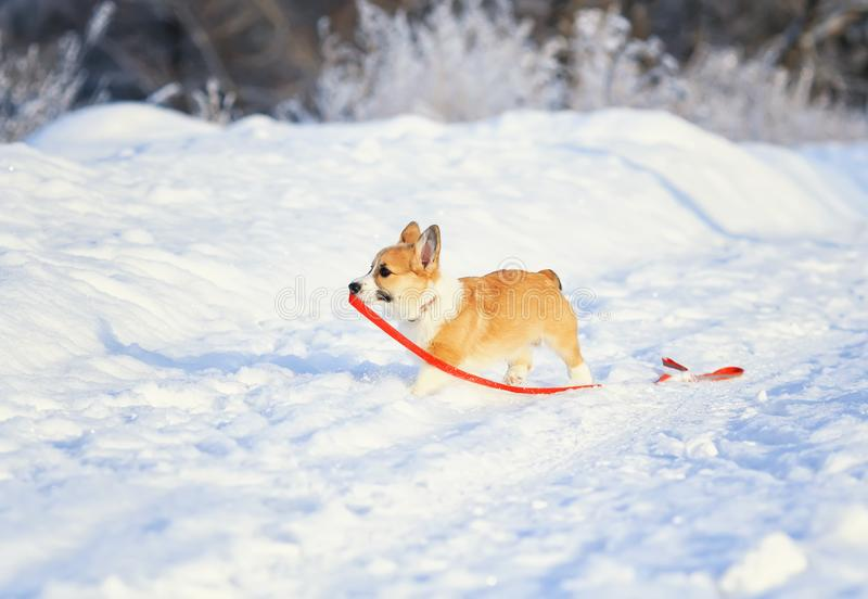 Small red-haired puppy of a dog corgi walks in deep white snowdrifts in the winter in the park on a sunny day holding a leash in stock photography