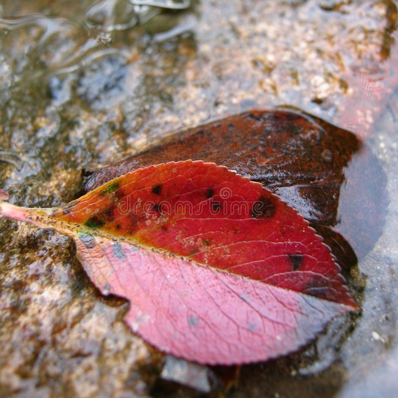 Small red leaf in water on concrete stock photography