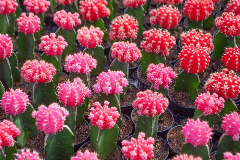 Small red and pink cactus selective focus in flowerpot houseplant. At the farm royalty free stock photo
