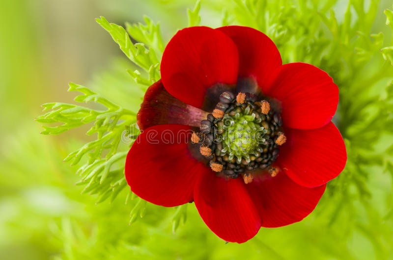 Small Red Poppy Flower Stock Image