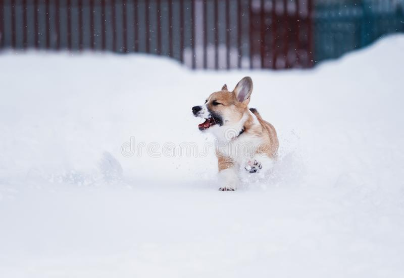 Red puppy walks in deep white snowdrifts in the winter in the village fun running. Small red puppy walks in deep white snowdrifts in the winter in the village royalty free stock photo