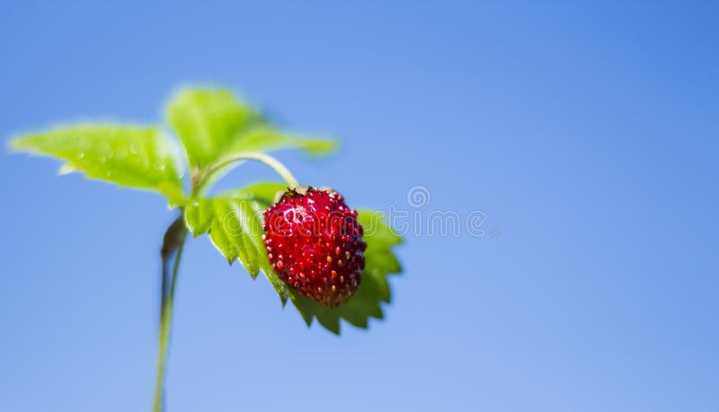Small red strawberry, close - up on sky background with copy space stock photo
