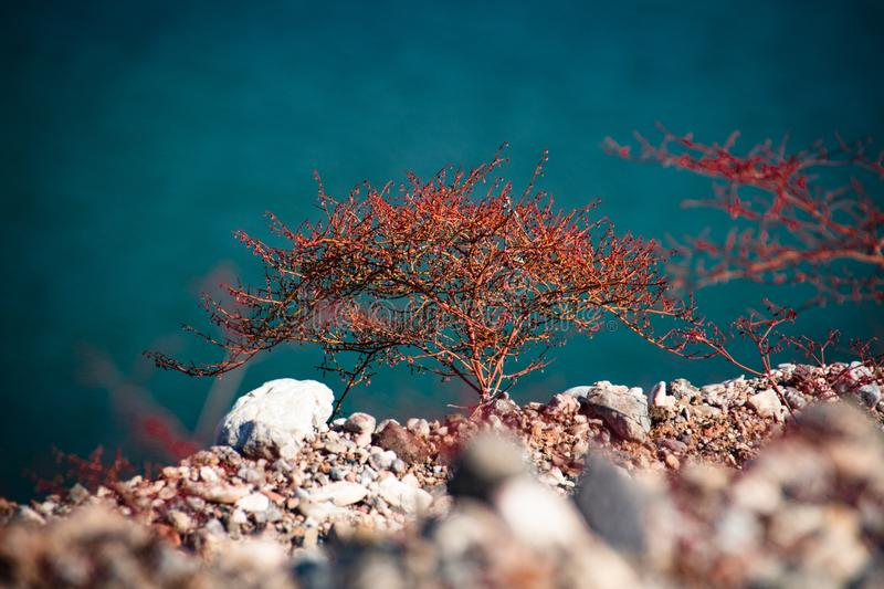 Small red Tree growing at lake mead recreation area, USA. Small red Tree growing at lake mead recreation area, Nevada, USA stock photos