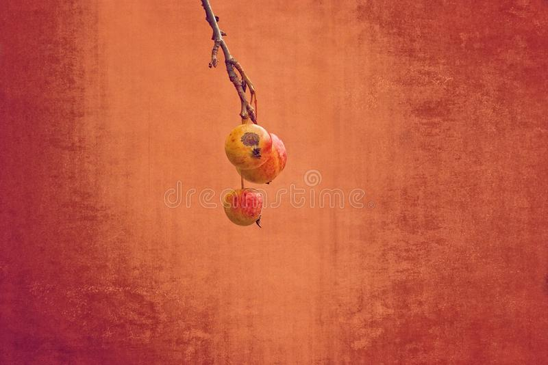 Small red wild paradise apples on an autumn leafless tree branc royalty free stock photos