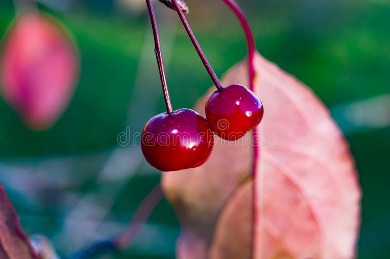 Small red wild wet apples on a branch after the rain. Autumn beautiful landscape, natural background, stock images