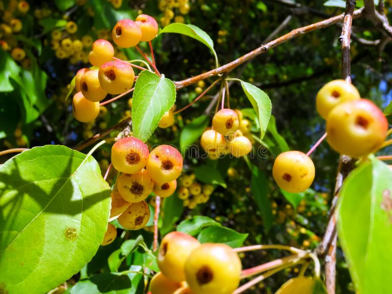 Small red-yellow fruits of wild Apple tree in the garden in summer. Close up royalty free stock photos