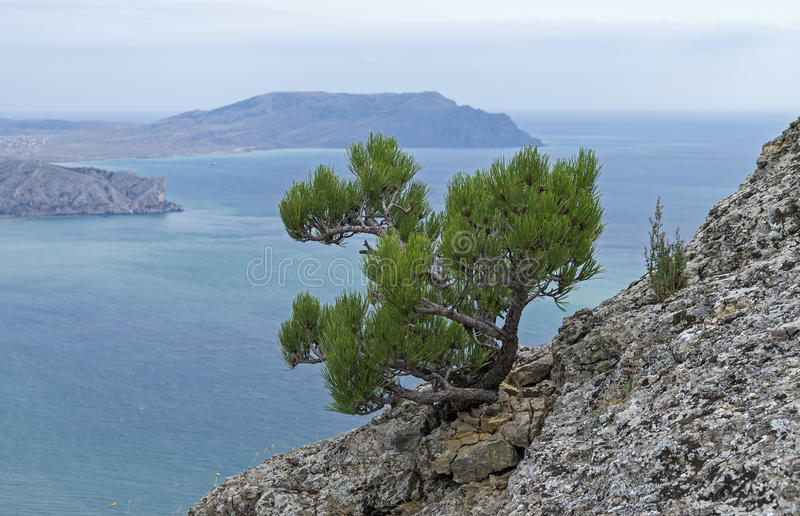 Small relict pine tree on a rocky cliff on the background of the. Sea. Mount Falcon Kush-Kaya, Crimea. September, cloudy stock photography