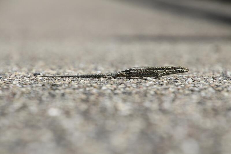 Small reptile on gravel stock photography