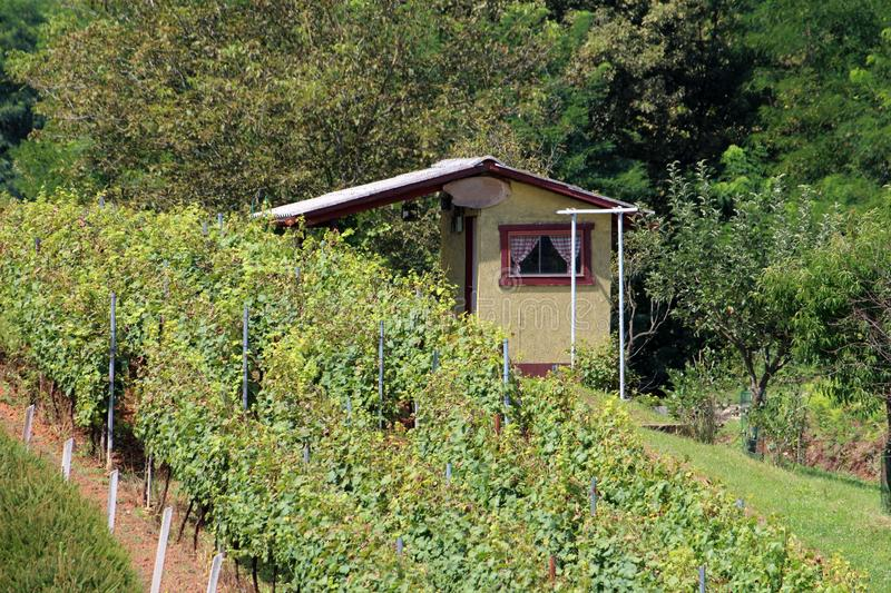 Small retro vintage vineyard cottage surrounded with densely planted vineyard and trees. On warm sunny summer day stock photo