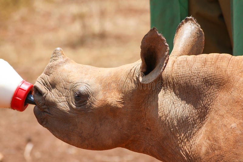 Small rhino drinking milk from bottle royalty free stock images