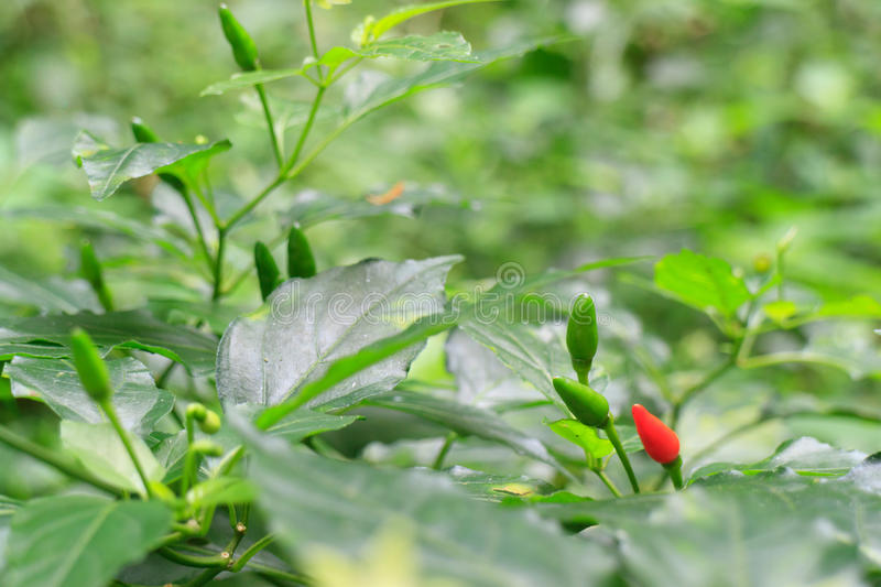 Small ripen red hot chili peppers on tree royalty free stock photos