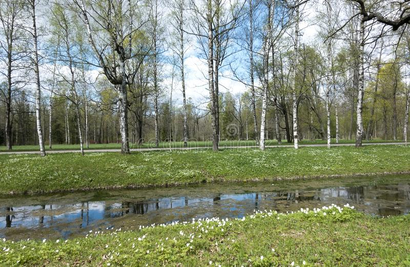 Small river with a duckweed, a channel in the park, birches on coast and the blossoming snowdrops. The small river with a duckweed, a channel in the park royalty free stock photography