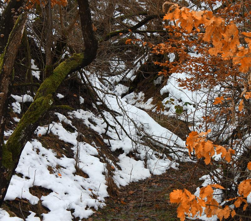 Small river hidden in a oak forest in winter royalty free stock image