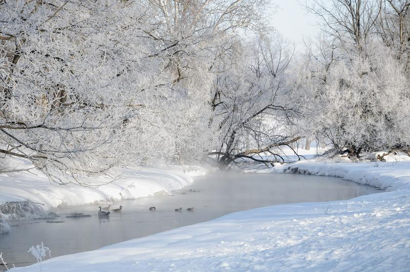 A small river ice and snow covered trees and waterfowl. Canada Geese and wild ducks in a small river during winter. Snow and ice covered trees and bank on a very royalty free stock photography