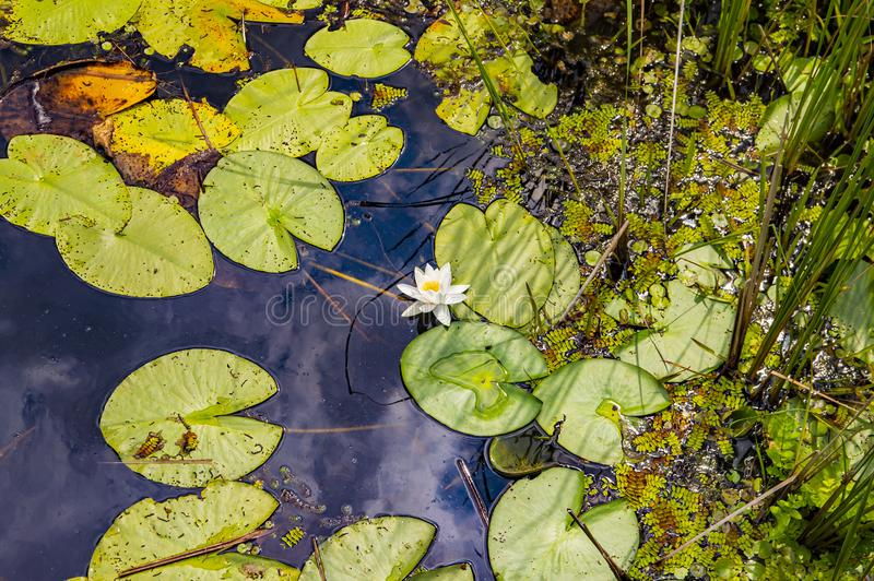 Forest river with white water lilies in the water. Natural landscape. Background royalty free stock photo