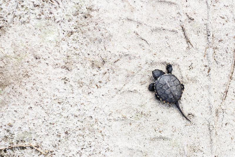 Small river turtle on a sandy background. Natural backgrounds. Animal world. Recreation stock image