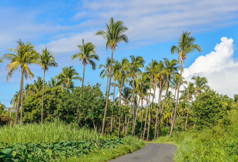 Small road towards a palm tree forest. La Reunions island stock images