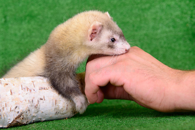 Download Small Rodent Ferret Stock Photography - Image: 32009842