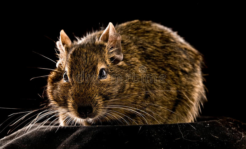 Small rodent royalty free stock images