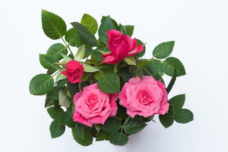 Small rose plant top view stock images