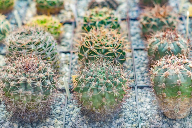 Small round cacti in pots for sale. Flower Windowshop.  stock images