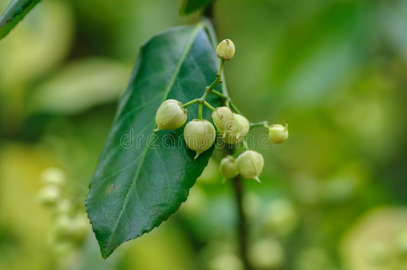 Small round green seeds on a bush with green leaf.  stock image