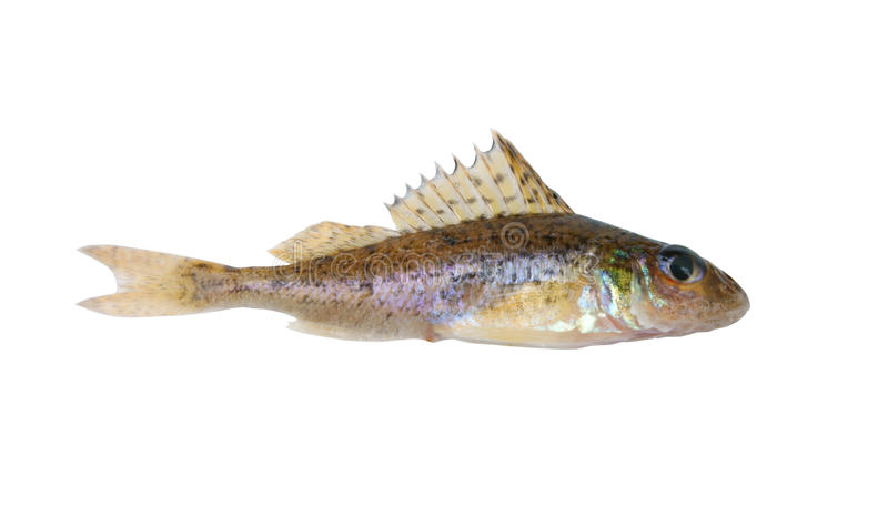 Download Small ruff fish isolated stock photo. Image of seafood - 12456324