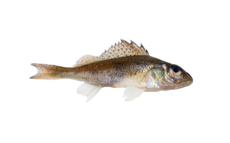 Download Small ruff fish isolated stock image. Image of view, skin - 12456335