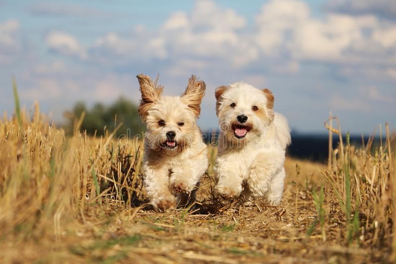Small running dogs in a stubble field royalty free stock photo