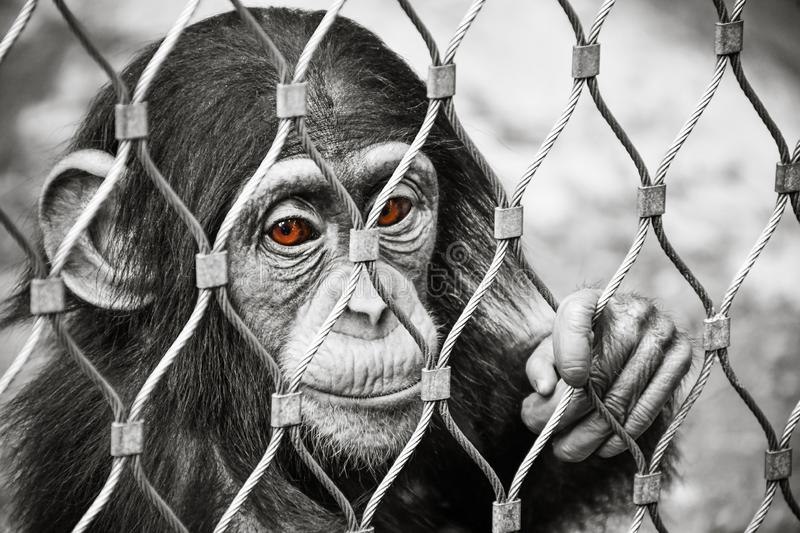 Small sad baby chimpanzee monkey with brown eyes. Locked inside the cage. Black and white royalty free stock photos