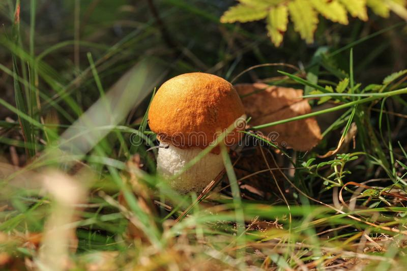 Small scaber stalk bolete Leccinum aurantiacum with its distinctive orange cap, sitting in small grass lit by sun.  royalty free stock photography