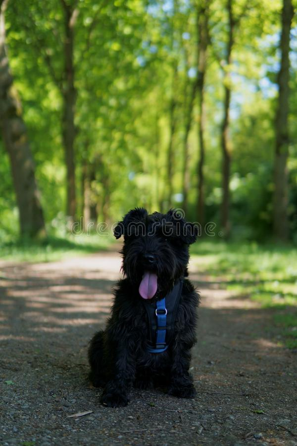 Small Schnauzer in a Forest. Small Schnauzer Dog in a Forest. Photo taken in Almere, The Netherlands royalty free stock photography
