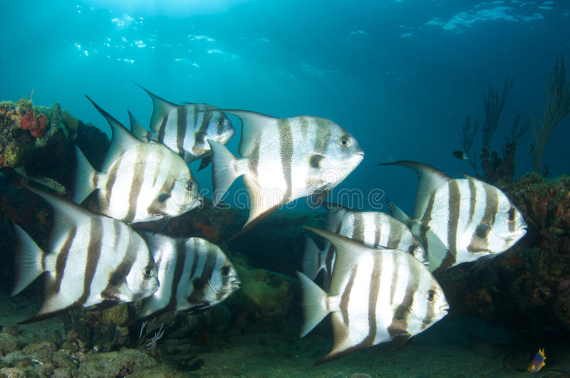 Small school of Spadefish. A small school of Spadefish(Chaetodipterus faber) picture taken on a shallow reef in Broward County, Florida royalty free stock images