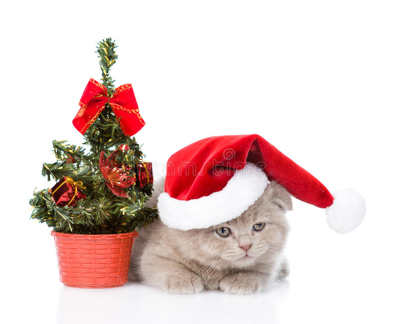 Small scottish cat with red santa hat and christmas tree. isolated on white.  stock photography