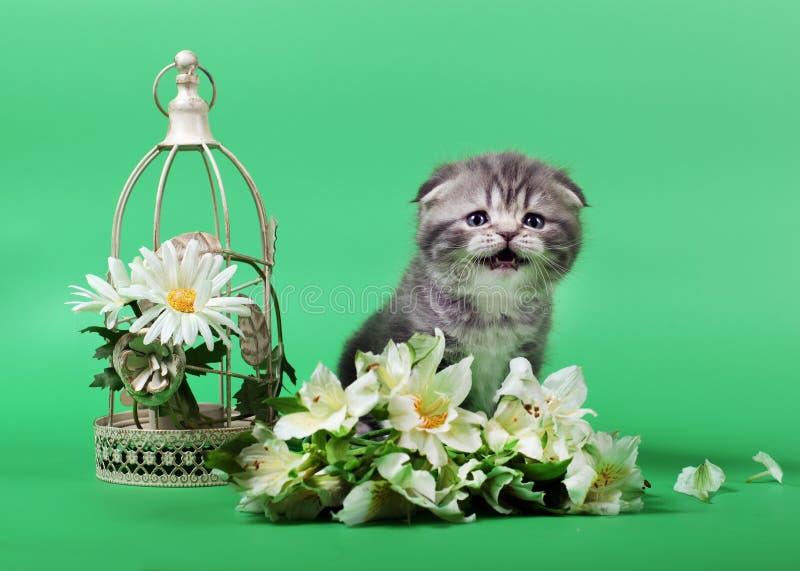 Small scottish fold kitten on green background royalty free stock photo