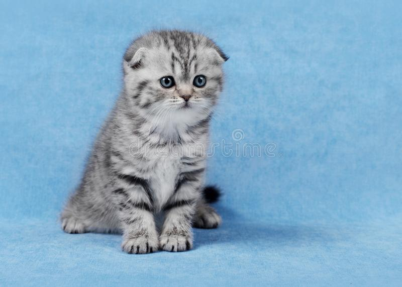 Small scottish fold kitten stock image