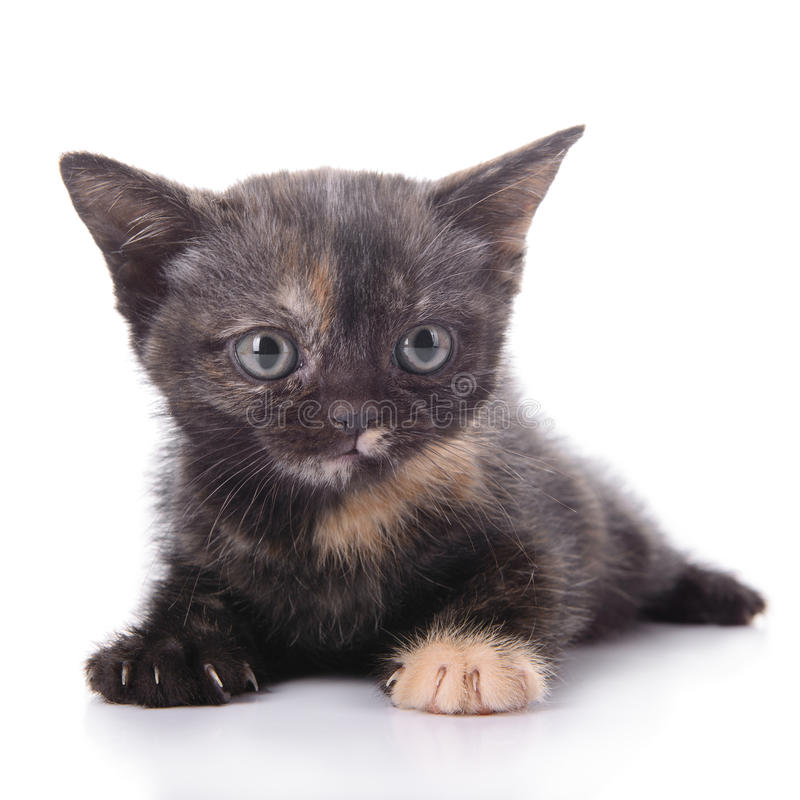 Small Scottish kitten royalty free stock photo