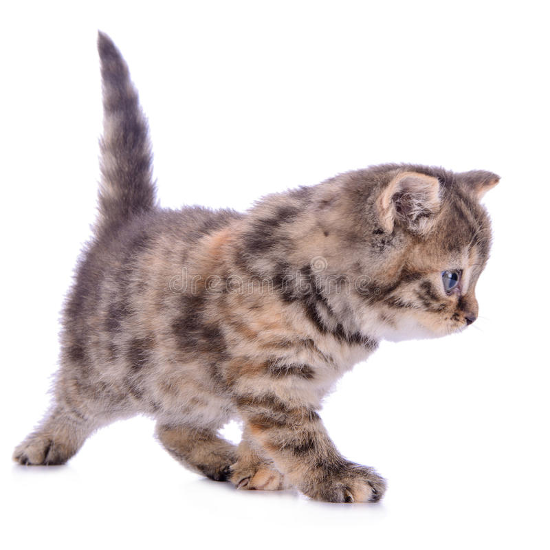 Small Scottish kitten royalty free stock photos