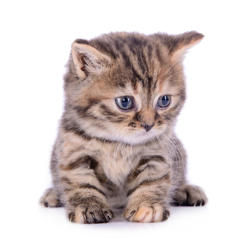 Small Scottish kitten stock photography