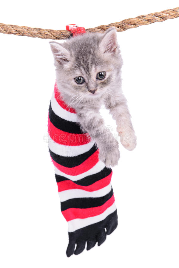 Small Scottish kitten stock photos