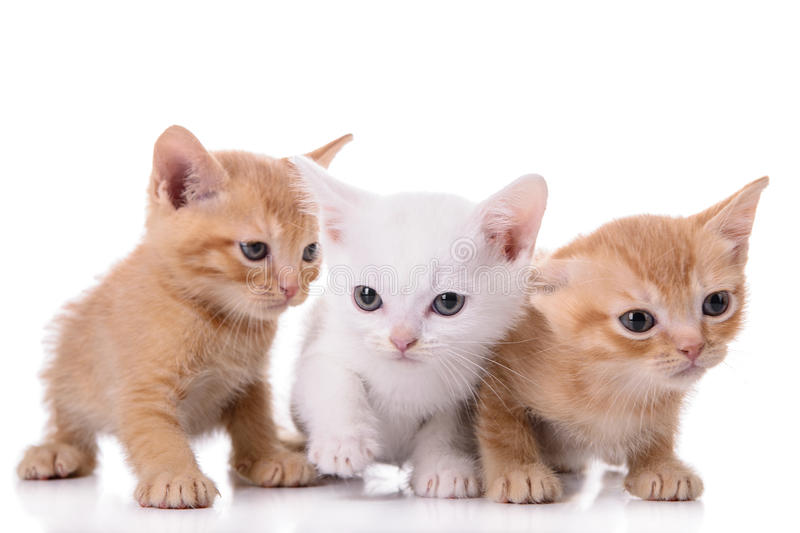 Small Scottish kittens royalty free stock photos