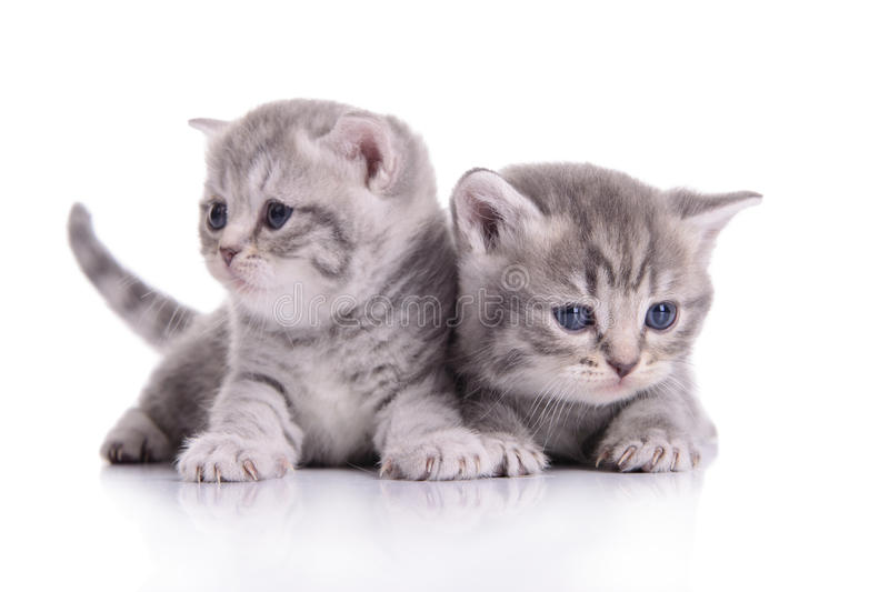 Small Scottish kittens stock images