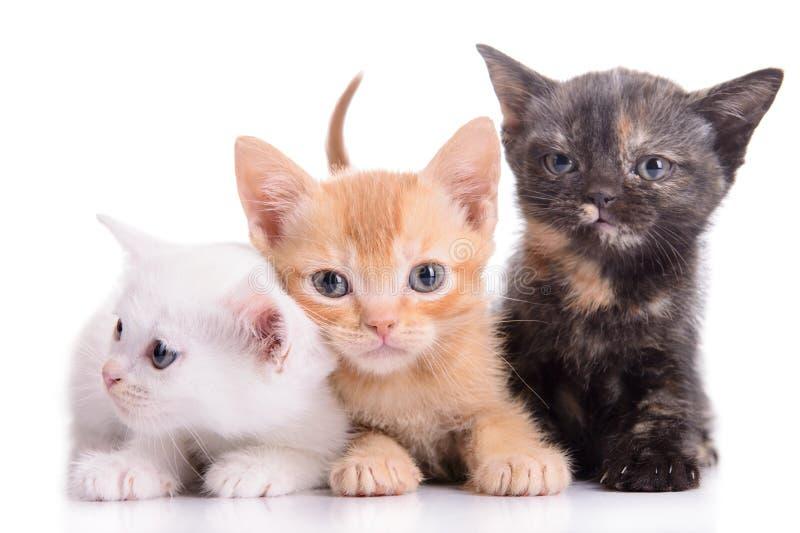 Small Scottish kittens royalty free stock photos