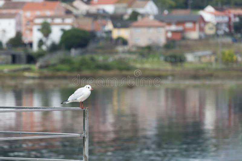 A small seagull perched on a stainless steel railing stock images