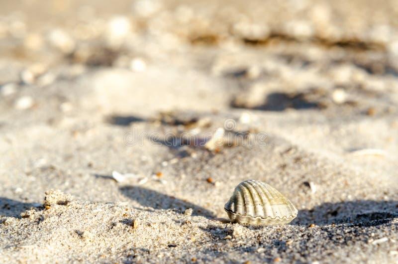 Small seashell on sand close up royalty free stock photo